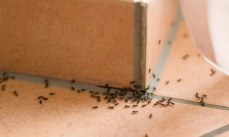 Ant Remediation, Ants in Home